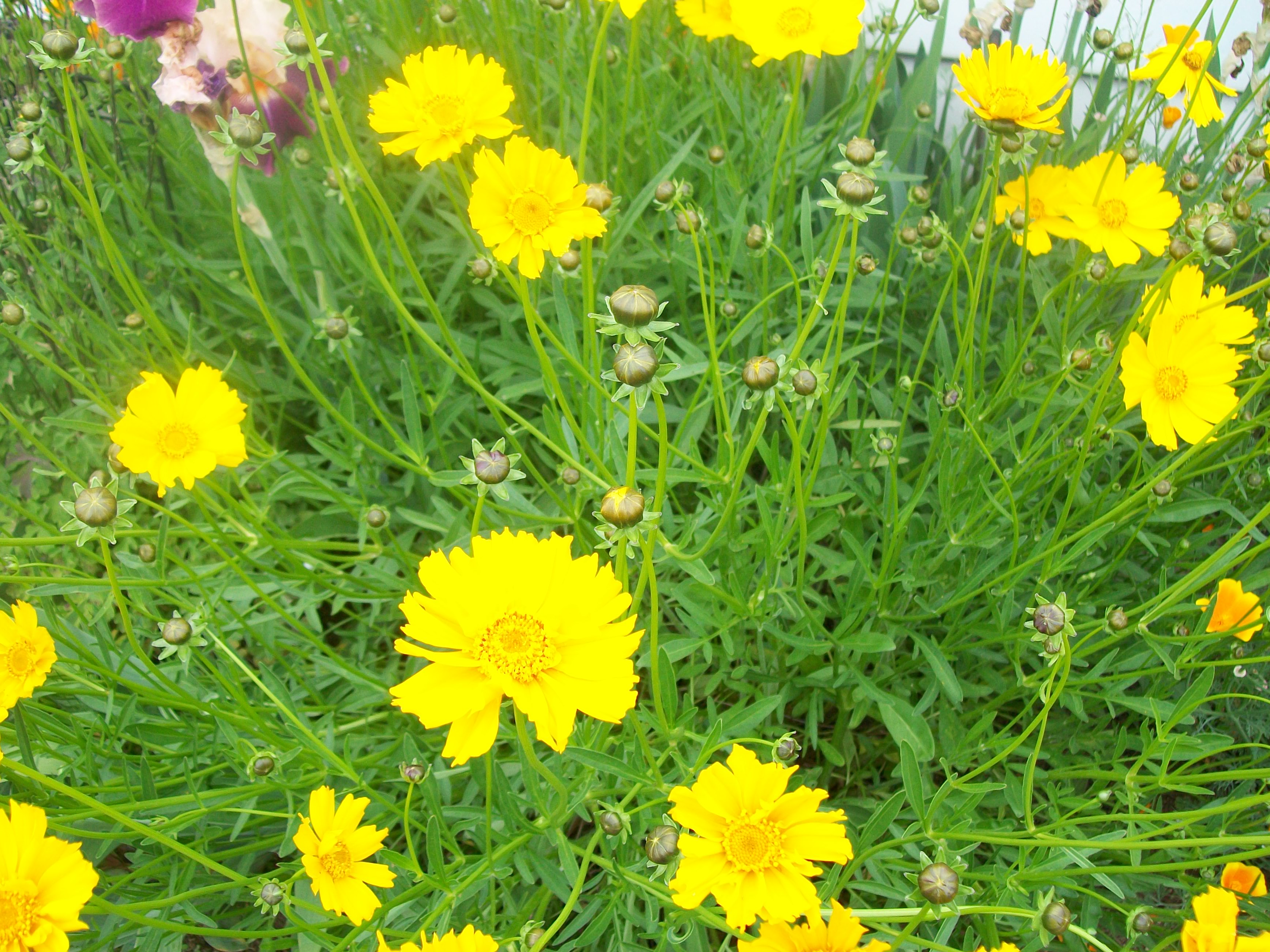 False Daisies The Marigold School Of Early Learning
